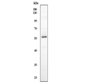 Western blot testing of 1) human HeLa, 2) mouse liver, 3) mouse testis and 4) mouse spleen lysate with FMO5 antibody.  Expected molecular weight ~60 kDa.