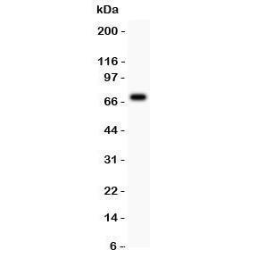 Western blot tesing of AFP antibody and HEPG2 lysate.  Predicted molecular weight: ~70 kDa.