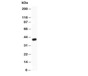 Western blot testing of MRP4 antibody and recombinant human protein (0.5ng)