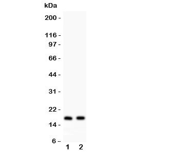 Western blot testing of ANP antibody and Lane 1:  rat heart;  2: mouse heart lysate. Predicted molecular weight ~17kDa.