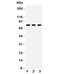 Western blot testing of 1) rat brain, 2) mouse brain and 3) human 293 lysate with APG7 antibody. Predicted molecular weight: 70-80 kDa.