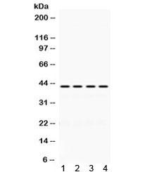 Western blot testing of 1) rat spleen, 2) mouse spleen, 3) human HeLa and 4) human MCF7 lysate with Actin antibody. Expected molecular weight 42-45 kDa.