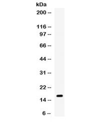 Western blot testing of mouse spleen lysate with Gip antibody. Expected molecular weight ~17 kDa.
