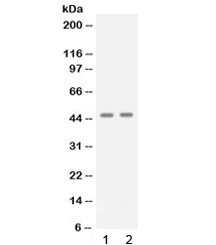 Western blot testing of 1) human A431 and 2) human Jurkat cell lysate with APOBEC3G antibody at 0.5ug/ml. Predicted molecular weight: ~46 kDa.