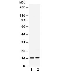 Western blot testing of 1) rat liver and 2) mouse liver lysate with APOC3 antibody at 0.5ug/ml. Predicted molecular weight 9-11 kDa.
