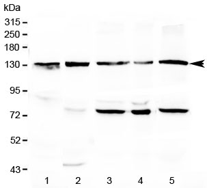 Western blot testing of 1) rat liver, 2) mouse liver, 3) human MCF7, 4) human COLO320 and 5) human HeLa lysate with CD133 antibody at 0.5ug/ml. Predicted molecular weight: ~97 kDa (unmodified), ~130 kDa (glycosylated).