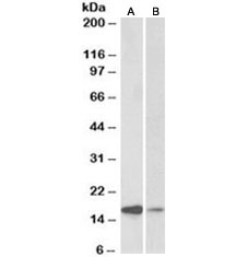 Western blot testing of human amygdala [A] and fetal mouse [B] brain lysate with alpha-Synuclein antibody at 0.1ug/ml. Predicted molecular weight ~15 kDa.