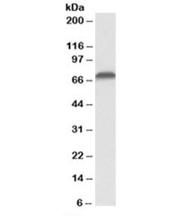 Western blot testing of Jurkat lysate with AIFM1 antibody at 0.1ug/ml. Predicted molecular weight: ~67kDa.