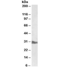 Western blot testing of liver lysate with APOA1 antibody at 0.5ug/ml. Predicted molecular weight ~30kDa.