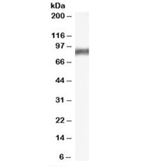 Western blot testing of rat stomach lysate with Arachidonate 5-lipoxygenase antibody at 0.3ug/ml. Predicted molecular weight: ~78kDa.