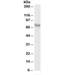 Western blot testing of HepG2 lysate with AFP antibody at 0.3ug/ml. Predicted molecular weight: ~70kDa.