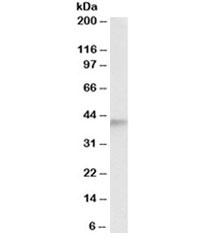 Western blot testing of human testis lysate with ADH5 antibody at 0.5ug/ml. Predicted molecular weight: ~40kDa.