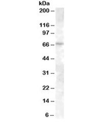Western blot testing of A431 lysate with ABCE1 antibody at 0.3ug/ml. Predicted molecular weight: ~68kDa.