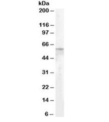 Western blot testing of human adipose lysate with Adipose triglyceride lipase antibody at 0.2ug/ml. Predicted molecular weight ~55kDa.