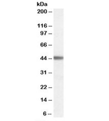 Western blot testing of human cerebral cortex lysate with ADRB3 antibody at 0.03ug/ml. Predicted molecular weight: ~44kDa.