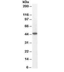 Western blot testing of human heart lysate with ACADM antibody at 0.05ug/ml. Predicted molecular weight: ~46kDa.