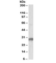 Western blot testing of human pancreas lysate with B7-H4 antibody at 0.5ug/ml. Predicted molecular weight ~31kDa.