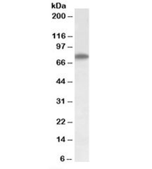 Western blot testing of HepG2 lysate with Arginyl-tRNA synthetase antibody at 1ug/ml. Predicted/observed molecular weight: ~75kDa.