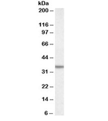 Western blot testing of A431 lysate with Annexin A2 antibody at 0.5ug/ml. Predicted molecular weight ~38kDa.