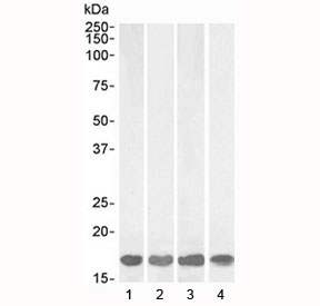 Western blot testing of 1) human brain (frontal cortex), 2) rat brain, 3) mouse brain and 4) pig brain lysate with AIF-1 antibody at 1ug/ml. Predicted molecular weight: ~17 kDa.
