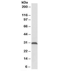 Western blot testing of rat skeletal muscle lysate with ATPG antibody at 0.1ug/ml. Predicted molecular weight: ~33kDa.