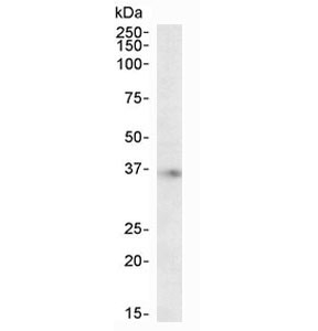 Western blot testing of human brain (hippocampus) lysate with APOE antibody at 2ug/ml. Predicted molecular weight ~36 kDa.