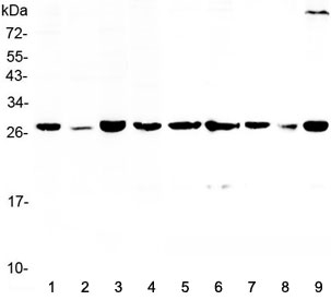 Western blot testing of human 1) HeLa, 2) placenta, 3) MCF7, 4) 22RV1, 5) rat lung, 6) rat PC-12, 7) mouse lung, 8) mouse HEPA1-6 and 9) mouse NIH3T3 lysate with 14-3-3 sigma antibody at 0.5ug/ml.