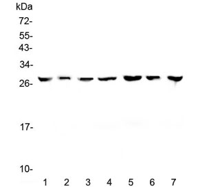 Western blot testing of human 1) HeLa, 2) placenta, 3) HepG2, 4) A549, 5) PANC-1, 6) SK-OV-3 and 7) 22RV1 lysate with 14-3-3 zeta antibody at 0.5ug/ml. Predicted molecular weight ~28 kDa.