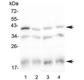 Western blot testing of 1) rat spleen, 2) rat thymus, 3) mouse spleen and 4) mouse thymus lysate with Baff receptor antibody at 0.5ug/ml. Predicted molecular weight ~19 kDa (monomer), ~40 kDa (dimer).
