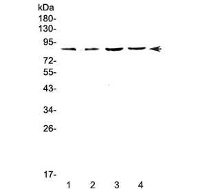 Western blot testing of 1) rat spleen, 2) rat thymus, 3) mouse spleen and 4) mouse thymus lysate with EOMES antibody at 0.5ug/ml. Expected molecular weight: 73-85 kDa.