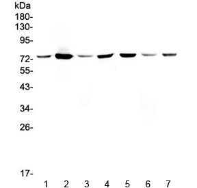 Western blot testing of human 1) HeLa, 2) placenta, 3) MCF7, 4) U-87 MG, 5) HepG2, 6) SMMC-7721 and 7) 293T lysate with Annexin VI antibody at 0.5ug/ml. Expected molecular weight: 67-76 kDa.