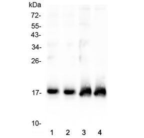 Western blot testing of two lots of rat heart lysate (lanes 1 & 2) and two lots of mouse heart lysate (lanes 3 & 4) with ANP antibody at 0.5ug/ml. Predicted molecular weight ~17 kDa.