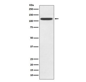 Western blot testing of human HeLa lysate with TLR5 antibody. Expected molecular weight ~98 kDa.