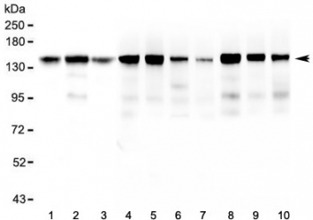 Western blot testing of 1) human HeLa, 2) human ThP-1, 3) human U-87 MG, 4) rat brain, 5) rat heart, 6) rat lung, 7) rat liver, 8) mouse brain, 9) mouse heart and 10) mouse lung lysate with BAG6 antibody at 0.5ug/ml. Predicted molecular weight ~119 kDa but observed at 150-170 kDa.