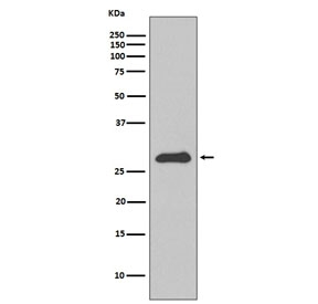 Western blot testing of human HepG2 cell lysate with APOA1 antibody. Predicted molecular weight ~30 kDa.