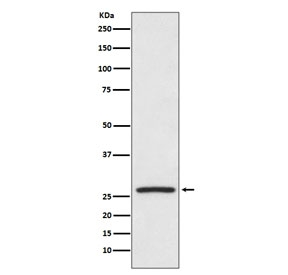 Western blot testing of human HeLa cell lysate with HSP27 antibody. Expected molecular weight: 23-27 kDa.