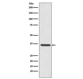 Western blot testing of human HeLa cell lysate with ANXA2 antibody. Predicted molecular weight ~38 kDa.