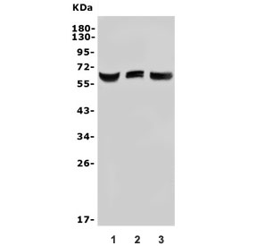 Western blot testing of 1) human HEK293, 2) monkey COS-7 and 3) human HK-2 lysate with Arylsulfatase L antibody. Predicted molecular weight ~66 kDa.