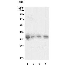 Western blot testing of 1) human HEK293, 2) rat thymus, 3) rat spleen and 4) mouse spleen lysate with XRCC2 antibody. Expected molecular weight: 32-36 kDa.