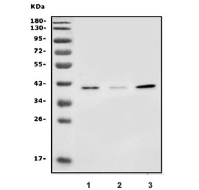 Western blot testing of human 1) HEK293, 2) PC-3 and 3) MCF7 lysate with SLC25A19 antibody. Predicted molecular weight ~41 kDa.