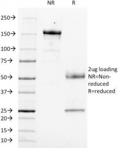 SDS-PAGE Analysis of Purified, BSA-Free Anti-CD14 Antibody (clone LPSR/553). Confirmation of Integrity and Purity of the Antibody.