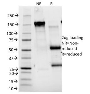 SDS-PAGE Analysis of Purified, BSA-Free CD25 Antibody (clone 143-13). Confirmation of Integrity and Purity of the Antibody.