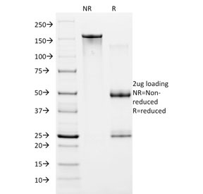 SDS-PAGE analysis of purified, BSA-free HIF1 alpha antibody (clone ESEE122) as confirmation of integrity and purity.