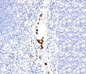 IHC: Formalin-fixed, paraffin-embedded human tonsil stained with Granulocyte antibody (SPM250).